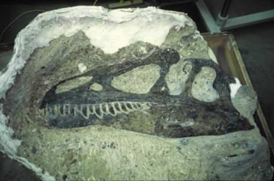 Fossilized Allosaurus skull at Dinosaur National Monument